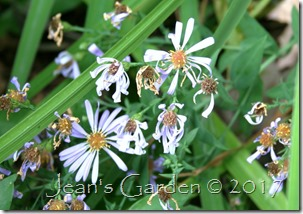 aster bluebird flowers