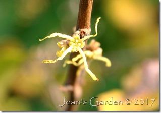 hamamelis flower