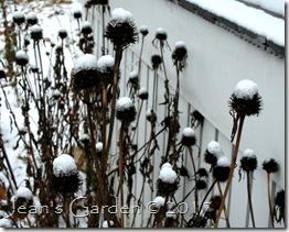 echinacea snow flowers