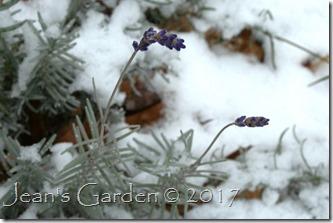 lavender blooms in snow