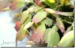 pink cactus buds
