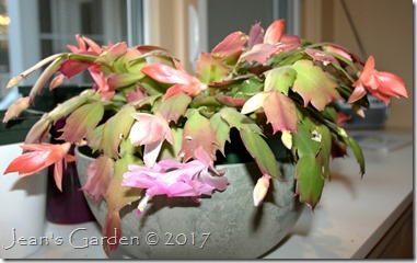 Thanksgiving cactus 2017