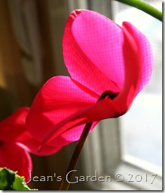 hot pink cyclamen flower