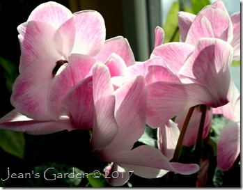 streaked cyclamen flowers