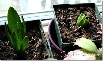 hyacinth buds january