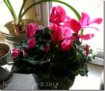 Pink cyclamen1