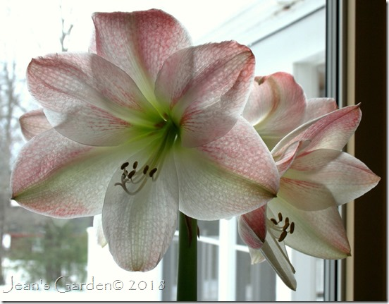 amaryllis apple blossom in bloom 2018