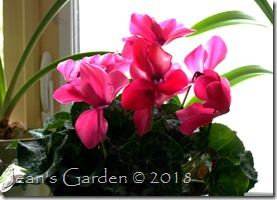 pink cyclamen February