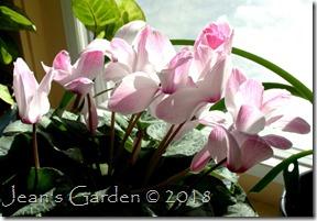 pink streaked cyclamen March