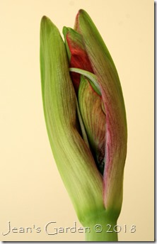 red amaryllus bud March