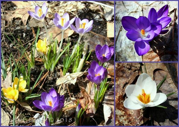 Crocus Blooms_1