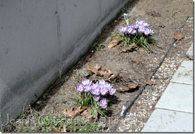 foundation crocuses