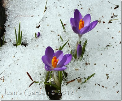 snowmelt and crocus blooms