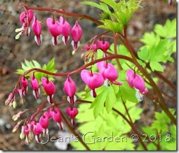 goldheart flowers