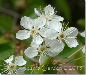pin cherry flowers 2018