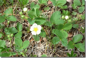 strawberry flower & buds