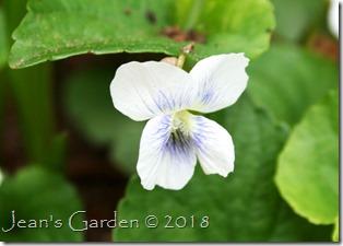 viola blanda flower