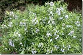 barely blue amsonia