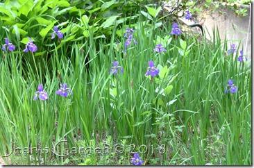 siberian iris blues