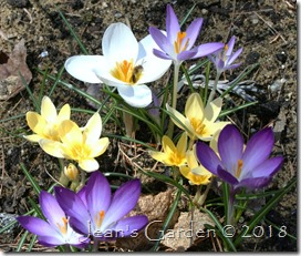 crocuses with pollinator