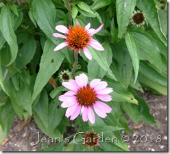 echinacea magnus blooming