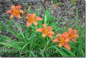 H. fulva flowers