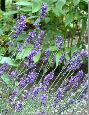 lavender hidcote blooming