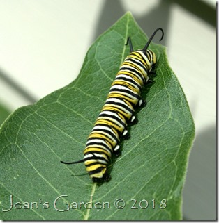 monarch caterpillar 2018