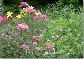 spirea with geranium and daylilies