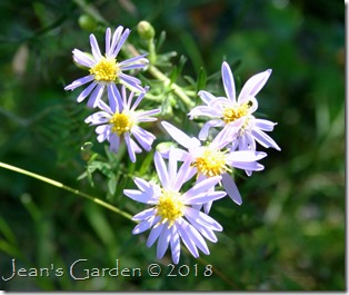 first asters of fall