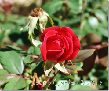 knock out rose bud