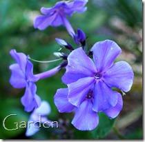 September phlox blue paradise