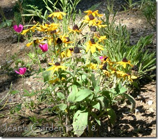 rudbeckia hirta with poppy mallows