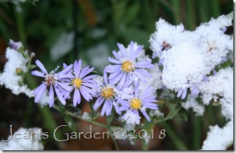 asters in early snow