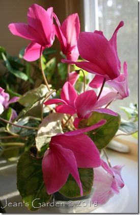reverted cyclamen
