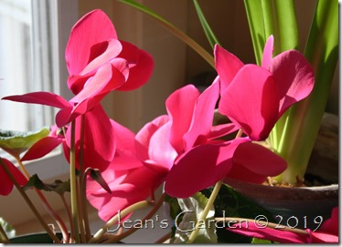 backlit pink cyclamen