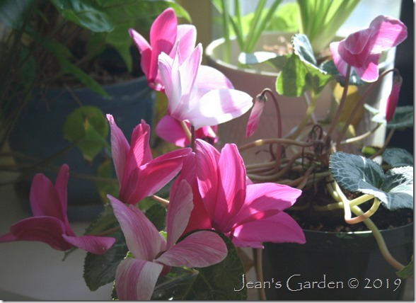 multi-color cyclamen