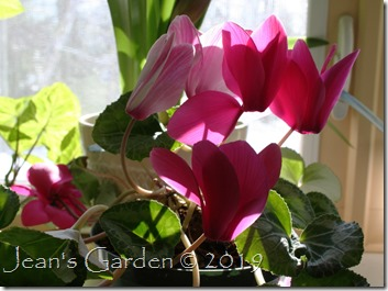 Lavender and white cyclamen