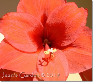 flame amaryllis close-up