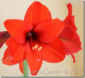 Flame red amaryllis 2019