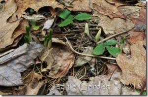 crocuses emerging
