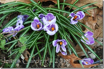 fading foundation crocus