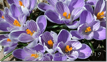 March crocus Pickwick