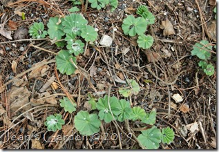 new alchemilla foliage