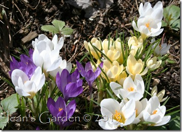April crocuses
