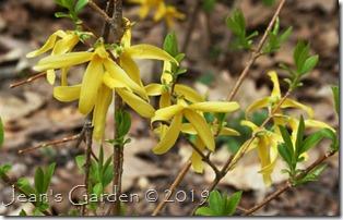 forsythia light yellow
