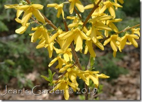 forsythia strong yellow