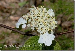 wild viburnum flower