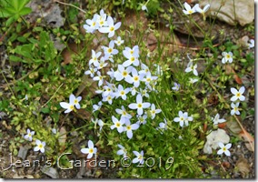 bluets still blooming
