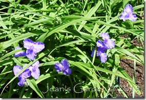 first tradescantia flowers